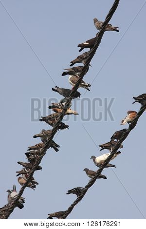 a lot of birds sitting on wires