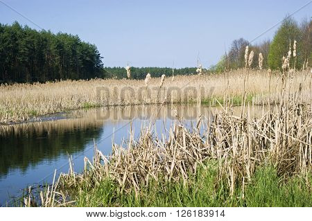 Spring, broadleaf cattails in the backwater of the river,landscape,nature