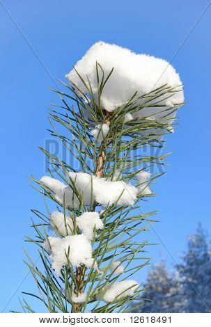 The Top Of The Young Pine Tree In Snow
