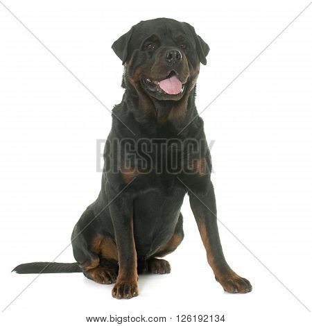 adult rottweiler in front of white background