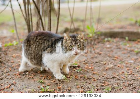 Pregnant stray cat looking at camera outdoor in summer, copy space