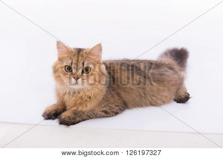 Close up of cute persian tabby cat sitting on the ground.