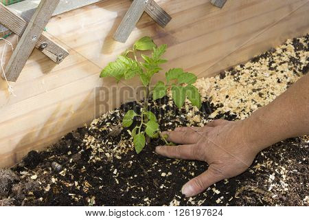 Close Up Of A Woman Working In The Garden And Plants Vegetables