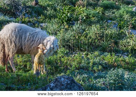 Sheep with newborn lamb graze. The mother takes care of the baby concept for all animals in the wild.