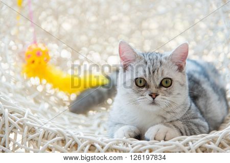 Close up of beautiful american shorthair cat lying on the pet bed.