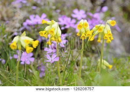 Yellow Cowslip blossoms in spring with pink phlox subulata out of focus in the background. Narrow depth of field