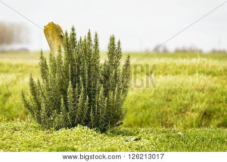 aromatic rosemary plant isolated in outdoor countryside