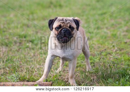 Pug puppy looking straight forward with wood on grass
