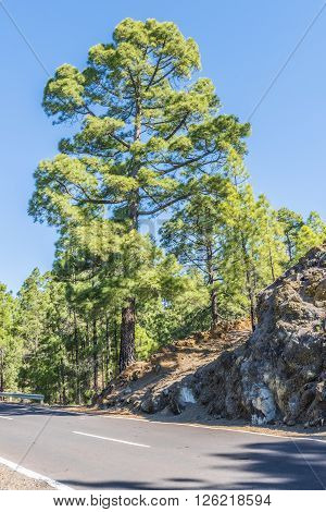 Canary island pine on the side of a narrow mountain road leading to the volcano Teide on Tenerife. Spain