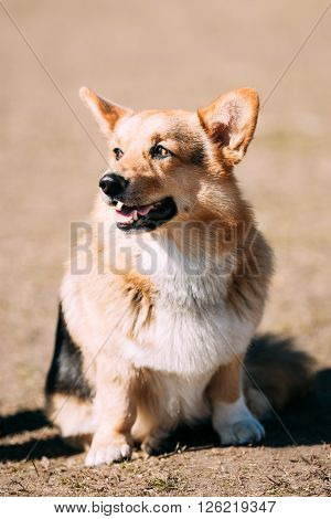 Funny Welsh Corgi Dog Sit Outdoor. The Welsh Corgi Is A Small Type Of Herding Dog That Originated In Wales.
