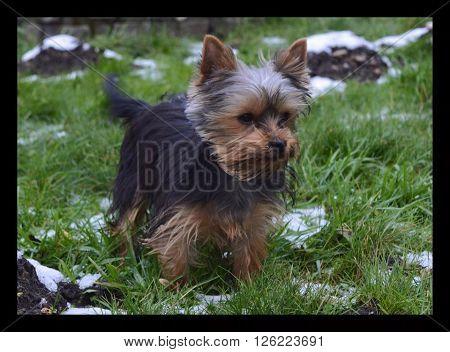 Yorkshire terriër pup genietend in de sneeuw