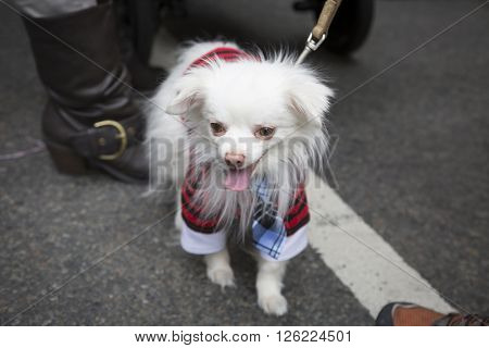 NEW YORK - MAR 27 2016: A little white dog wearing an Easter costume walks along 5th Avenue Easter Sunday during the traditional Easter Bonnet Parade in Manhattan on March 27, 2016.