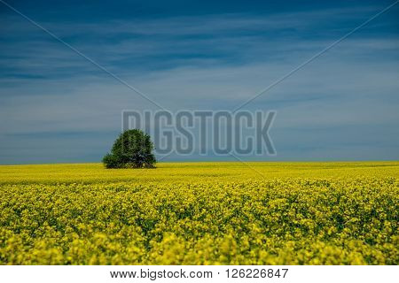 Blooming Rapeseed In The Fields