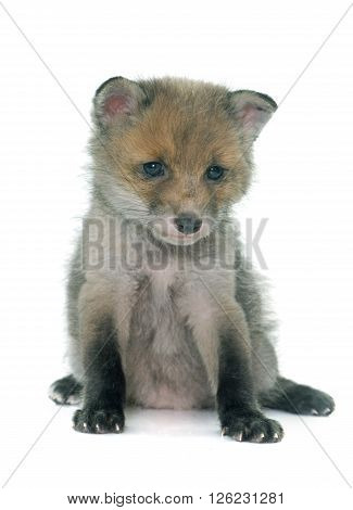 sleeping fox cub in front of white background
