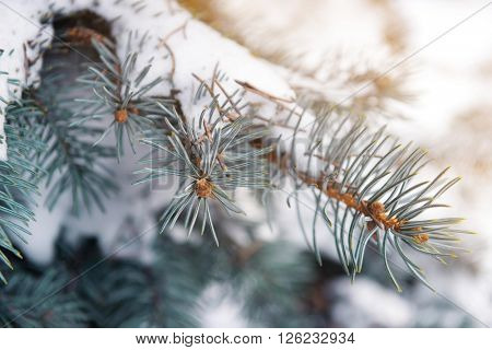 Snowy fir tree branches, closeup