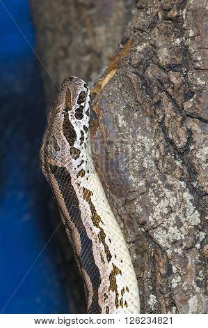 Madagascar Ground Boa