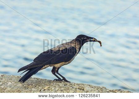 Crow With Bone In Beak