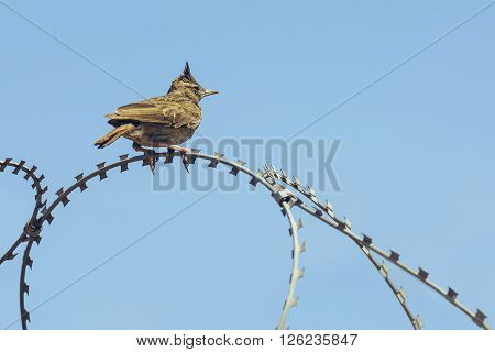 Crested Lark On Barbed Wire