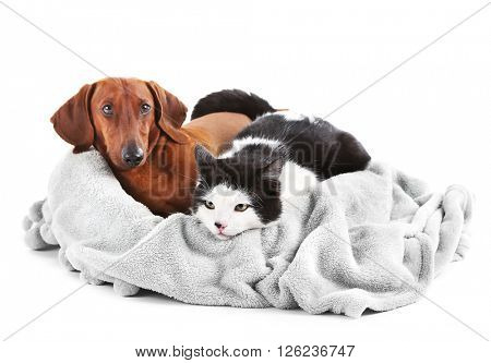 Cat and dachshund on grey lounger, isolated on white.