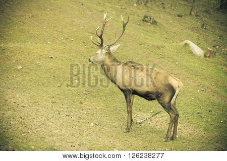 Majestic powerful adult male red deer stag in autumn fall forest. Animals in natural environment beauty in nature.