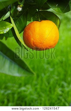 Mandarin orange tree with ripe mandarin fruit in the garden