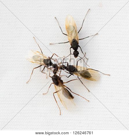 Group of winged Carpenter Ants (Camponotus) on a white background