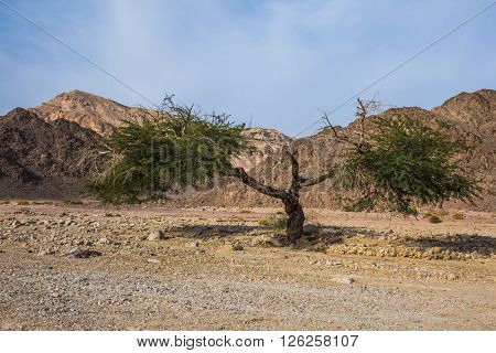 The stone desert in neighborhood of the sea resort of Eilat. The branchy acacia