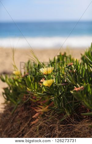 Ice plant succulent, Carpobrotus edulis, creeping ground cover on beach sand in the spring in Southern California with the ocean in the background