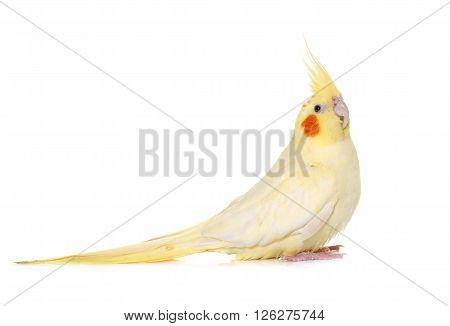 adult cockatiel in front of white background