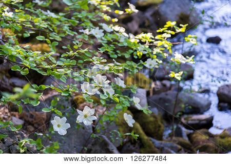 Dogwood tree with flowers near the river in spring time