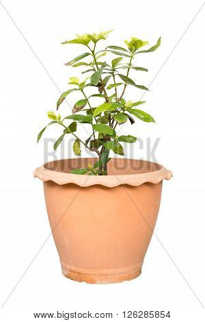 Gardenia jasmine isolated on white background with clipping path
