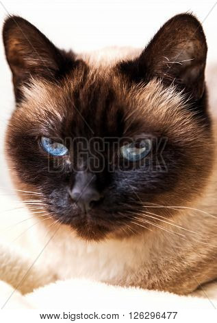 Cute Siamese cat looking at camera .