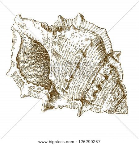 Vector antique engraving illustration of spiral seashell isolated on white background