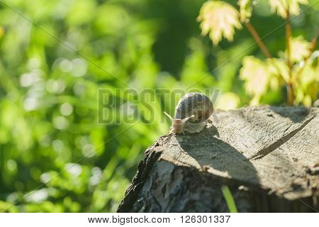 Edible snail is creeping on tree stump