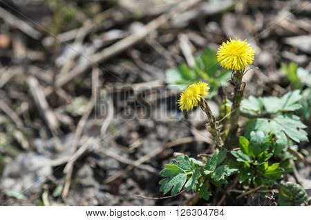 Coltsfoot first flower on spring close up