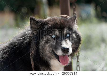 Black Siberian husky dog with blue eyes looking at camera
