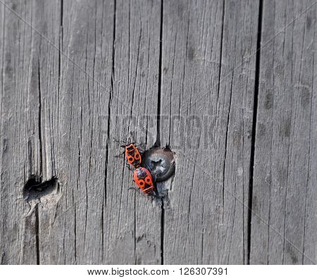 Two red beetle on a wooden wall. It is spring. This is Love.