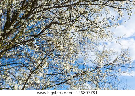 Springtime Blooming Plum Tree Branch