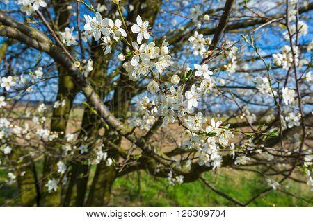 Springtime Blooming Plum Tree Branch