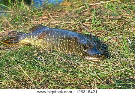 pike in the sun on the grass