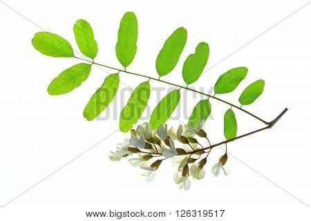 Branch with flowers of the Black Locust (Robinia pseudoacacia)