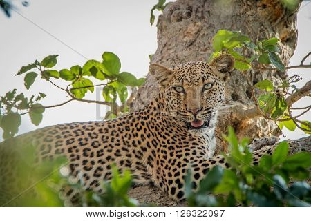 Leopard Laying In A Tree In The Kruger National Park.