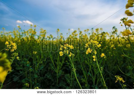 Bee on rapeseed flower, pollination under blue sky. Agricultural landscape.