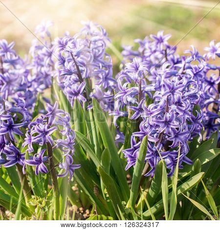 Blooming Beds Of Hyacinths Smells Delicious. Sun Rays