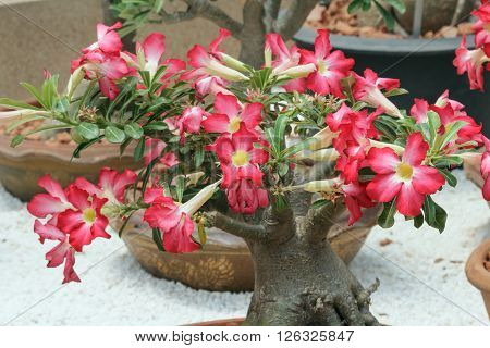 The Red yellow azalea in garden outdoor