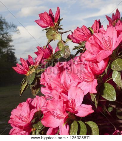 Azalea flowering in the spring with pink and red blooms