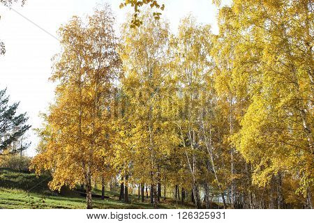 Beautiful autumn birches on the edge of the wood