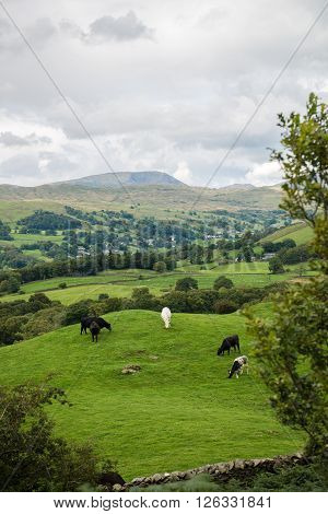 Windermere Lake From Orrest Head On The Meadows With Cows