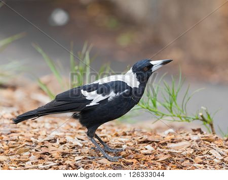 pretty unusual Crow-whistler (Gymnorhina tibicen) black-and-white coloring and intelligent expression - is widespread in Australia and Tasmania