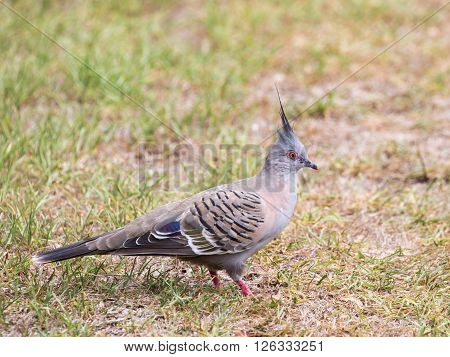 beautiful Australian unusual gray pigeon with a funny hoholklm and red eyes and legs walking on green grass and Australian park